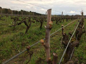 Bloesem uit de wijnplant