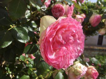 rozen uit de tuin zomer
